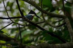 Scanning (rod_b_k) Tags: ifttt 500px bird nature pond beak plumage ornithology kingfisher chaffinch santa cruz robore