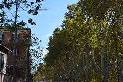 Rome, Italy - Sycamores (jrozwado) Tags: europe italy italia rome roma unescoworldheritage tree sycamore