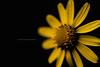 Euryops 1 (Ag-NO3 Angelo Sampino) Tags: fiori flowers euryops giallo yellow petali fuoco focus macro vegetale luce light agno3 © angelo sampino nikon d700