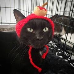 Khang loves to play dress-up with @kittenlidz! Now that's one easy-going cat. #blackcatsrule #adoptthiscat #catsinhats (Jimmy Legs) Tags: khang loves play dressup with kittenlidz now thats one easygoing cat blackcatsrule adoptthiscat catsinhats