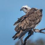 Eastern Osprey: Preeening in Progress thumbnail