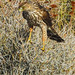 Immature Cooper Hawk Hunting