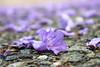 365-326 (Letua) Tags: 365project alfombra carpet floor flor flores flower flowers jacaranda lila lilac naturaleza nature piso primavera spring violet violeta