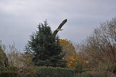 Flying Heron (Caulker) Tags: bird greyheron trees garden november 2017