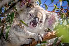 Wild Koala (Dreamtime Nature Photography) Tags: koala queensland australia australie noosa canon7dmark2 7dm2 7dmii qld roadtrip trip voyage nature dreamtimenaturephotography wild