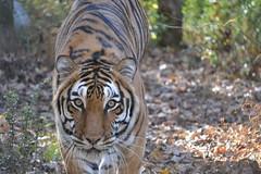 2017-1129 madonna tiger (7)