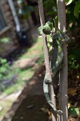 Chameleon in Nairobi (yumievriwan) Tags: chameleon kenya nairobi