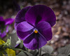Darkened Purple (that_damn_duck) Tags: plant nature petals blossom blooming purple