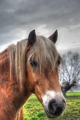 IJslander of IJslandse paard  --HDR-- (Frank Berbers) Tags: asselt maasplassen asseltseplassen middenlimburg limburg hdr highdynamicrange imagerieàgrandegammedynamique photomatix uiterwaarden überschwemmungsgebiet ijslander ijslandsepaard islandpferd isländer icelandichorse islandais paardpony pferd horse cheval nederland zweetvos lightchestnut lichtfuchs nikond5100