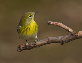 Pine Warbler, male