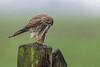 R17_3371 (ronald groenendijk) Tags: cronaldgroenendijk 2017 falcotinnunculus rgflickrrg animal bird birds birdsofprey groenendijk holland kestrel nature natuur natuurfotografie netherlands outdoor ronaldgroenendijk roofvogels torenvalk vogel vogels wildlife