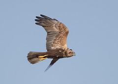 Marsh Harrier (Steve Ashton Wildlife Images) Tags: marsh harrier marshharrier raptor bird prey stodmarsh grove ferry groveferry kent circus aeruginosus circusaeruginosus