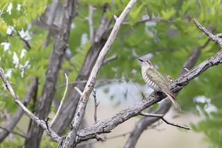 Horsfield's Bronze-Cuckoo (Chalcites basalis)