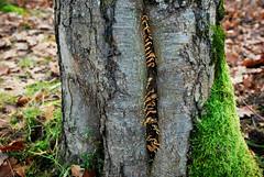 DSC_1878 (FMAG) Tags: 2017 żabieniec zalesie jesien moss leaves