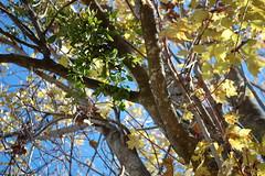 Trees And Sky. (dccradio) Tags: lumberton nc northcarolina robesoncounty outdoors outside morning goodmorning fall autumn harvest nikon d40 dslr sky bluesky nature natural tree trees foliage autumnfoliage fallfoliage