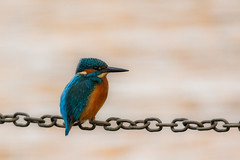 kingfisher (nbs.fotografie) Tags: kingfisher bird aimal eisvogel vogel tier nikon