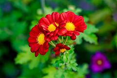 Red chrysanthemum (Seiran) (Dakiny) Tags: 2017 autumn november japan kanagawa yokohama nature plant flower chrysanthemum macro bokeh nikon d750 afsnikkor85mmf18g nikonafsnikkor85mmf18g nikonclubit