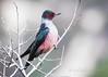 Lewis's  Woodpecker (cbjphoto) Tags: angeles national chilao lewis carljackson bird campground losangeles california forest photography avian woodpecker