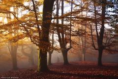 The golden Forest (Hector Prada) Tags: bosque otoño niebla luz hojas bruma hayedo sol mágico momento dorado forest autumn fog mist light leaves árbol tree sun magic moment morning dreamy golden paísvasco basquecountry