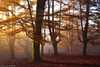 The golden Forest (Hector Prada) Tags: bosque otoño niebla luz hojas bruma hayedo sol mágico momento dorado forest autumn fog mist light leaves árbol tree sun magic moment morning dreamy golden paísvasco basquecountry