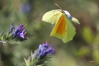Papillon le Citron de provence mâle
