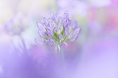 Who I'm Meant To Be (Anna Kwa) Tags: lilyofthenile agapanthus flower macro art nature annakwa nikon d750 afsvrmicronikko105mmf28gifed my dreams always beyou seeing heart soul throughmylens omm bewell fate life destiny journey whatmatters bokeh