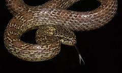 Dipsadoboa aulica (zimbart) Tags: africa chitengo colubridae dipsadoboa fauna gorongosanationalpark mozambique reptiles snakes vertebrata dipsadoboaaulica