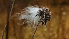 The answer my friend is ... ♩ ♪ ♫ ♬ ♭ ♮ ♯ (Bob's Digital Eye) Tags: 2017 bobsdigitaleye bokeh canon depthoffield efs24mmf28stm flicker flickr macro motion nature organictexture plant seedhead seeds t3i