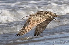 Long-billed Curlew - (Explored) (bobdinnel) Tags: longbilledcurlew birds shore explore ocean
