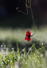 Above the Ground (haberlea) Tags: garden coreopsisroulette coreopsis flower bokeh grass green mygarden red oneflower one 2 single abovetheground above lawn water dew drops morning