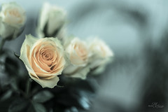 Roses, what else... (Monika Kalczuga (on&off)) Tags: roses rose flowers nature beauty flower