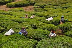 India - Kerala - Munnar - Tea Harvesting - 141 (asienman) Tags: india kerala munnar teaplantagen asienmanphotography