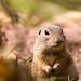 Ziesel, ground squirrel