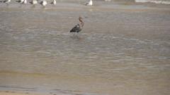 DSC04890 (Matthew283) Tags: bolvar wildlife 11182017 reddish egret