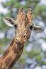 Portait of a giraffe (Tambako the Jaguar) Tags: giraffe portrait neck face funny basel zoo nikon d5 switzlerland