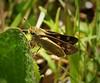 Fiery Skipper female. (Hylephila phyleus) (gailhampshire) Tags: fiery skipper female hylephila phyleus taxonomy:binomial=hylephilaphyleus