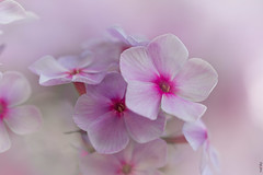 RUS63841(A bit of Tenderness) (rusTsky) Tags: pink beauty plant nature garden blossom canon bokeh ef100mm 5dmarkiii closeup