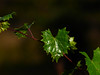 Vine (Slow dancin') Tags: vine grape