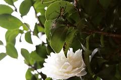 Opposition (laurengillett) Tags: naturephotography closeups whiteflowers mothernature nature beauitfulnature flowerphotography flowers petals blooms spider spiders