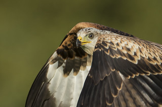 Red Kite (wild) - Head Shot