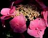 Ortensia illuminata da un raggio di sole (anto_gal) Tags: lazio viterbo bagnoregio civita civitadibagnoregio 2014 lacittàchemuore fiori ortensia rosa borghipiùbelli