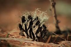 pive et lichen (bulbocode909) Tags: valais suisse pives lichens montagnes nature automne forêts aiguilles orange vert