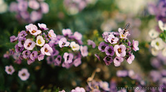 Alyssum (§TRUZYNA PHOTOGRAPHY) Tags: flower flowers flor flores florido blumen blume alisum alyssum struzyna fotografía kaleidoscopio kαλεîδοσκοπo photography sprin 2017 backyard garden jardín nature canon
