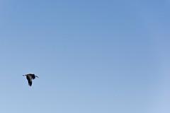migrant | migrando | migrating (Ramon Oromí Farré @sobreelterreny) Tags: migrant migrando migrating cigonya cigueña stork ivarsdurgell estanydivarsivilasana pladurgell planadurgell planadelleida cel cielo sky diaphanous diáfano blue blau azul transparent transparente claro clar bright lleida provínciadelleida catalunya catalonia catalogne cataluña països catalans volant volando flying ciconia cigonyablanca ciconiaciconia au ave pájaro ocell bird cigüeñablanca whitestork animal outdoor december diciembre desembre tardor autumn otoño tamron d7100 nikon nikkor flickr new natura nature naturaleza naturalesa morning dia day fauna