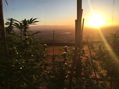 IMG_5918 (CannaPsy) Tags: medicalcannabis medicalmarijuana cannabis organic sungrown truelivingorganics notill weed ganja herb dank caliweed cleanmeds ecofriendly legalization warondrugs prohibition