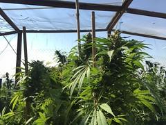 IMG_6082 (CannaPsy) Tags: medicalcannabis medicalmarijuana cannabis organic sungrown truelivingorganics notill weed ganja herb dank caliweed cleanmeds ecofriendly legalization warondrugs prohibition