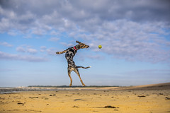 Bambi (Paul`s dog photography) Tags: bambi rescue dog bouncing jumping leaping beach sandy littlehampton west sussex