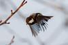275.jpg (Kico Lopez) Tags: carbonerogarrapinos miño lugo aves galicia birds periparusater spain rio