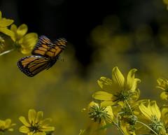 MonarchButterfly_SAF2368 (sara97) Tags: danaus plexippus butterfly endangered insect missouri monarch monarchbutterfly nature photobysaraannefinke pollinator saintlouis flight inflight flying danausplexippus copyright©2017saraannefinke