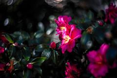 Camellia Blooming Season (moaan) Tags: kobe hyogo japan jp flower flowering flora camellia light sunlight catchthesun sunbathing wintercozy december dof depthoffield bokeh bokehphotography nature naturephotography flowerphotography canoneos5dsr lomographyzenitpetzval85mmf22 85mm f22 utata 2017